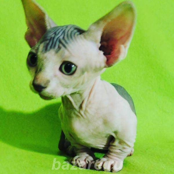 Котята породы сфинкс,  Чита