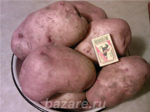 Картофель оптом, Уфимка., Мраково