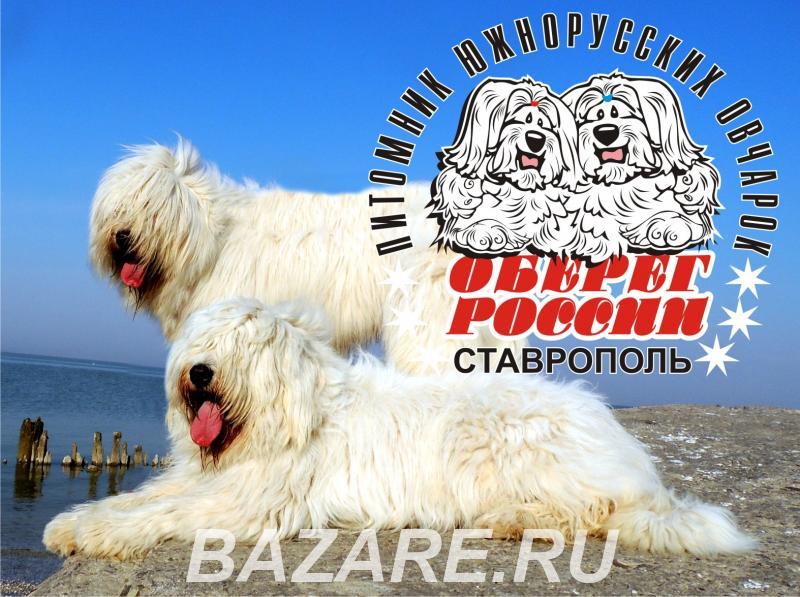 Щенок Южнорусской овчарки,  Ставрополь
